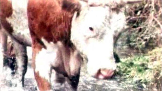 Des agriculteurs importent illégalement de la semence de taureaux.