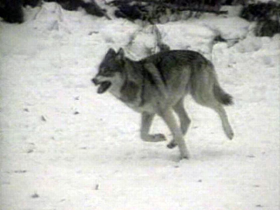Bête du Val Ferret: le loup revient en Suisse de façon naturelle.