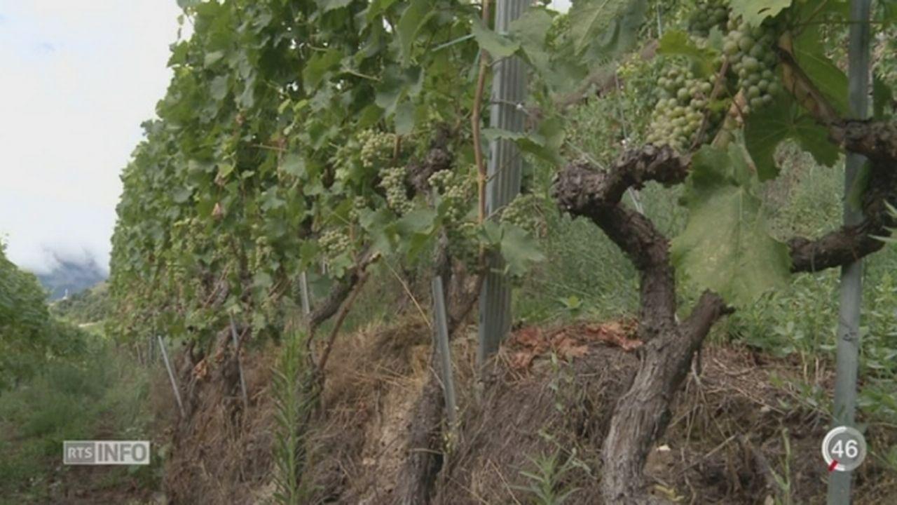 Les viticulteurs prennent des mesures pour s'adapter au réchauffement climatique [RTS]