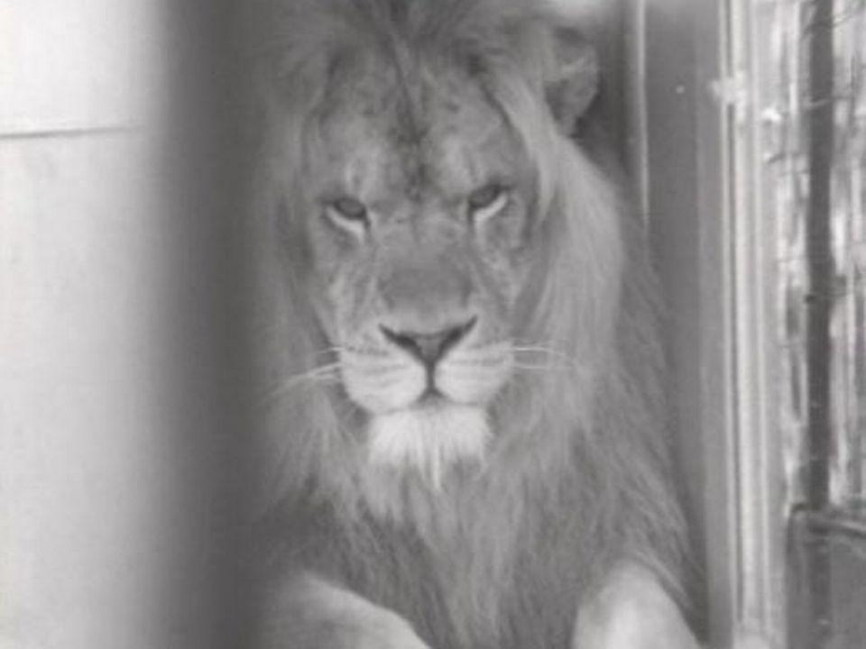 Lion dans une ménagerie. [RTS]
