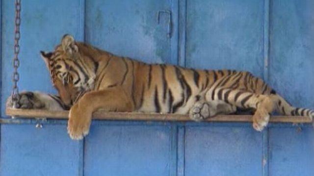 Tigre du refuge Panthera d'Alain et Nicole Gross, 2004. [RTS]