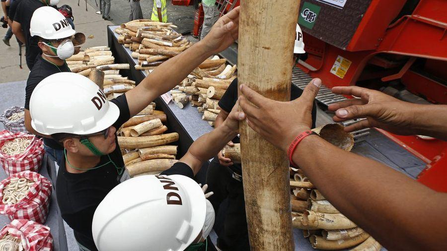 Des officiels thaïlandais préparent la destruction de deux tonnes de défenses d'éléphants.