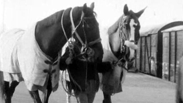 Pour le concours de saut, les chevaux sont bichonnés.
