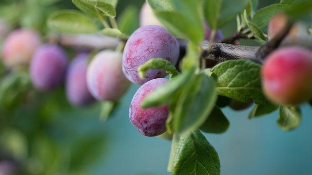 La Damassine est faite à partir de prunes de Damas. [Stefan Meyer - Keystone]