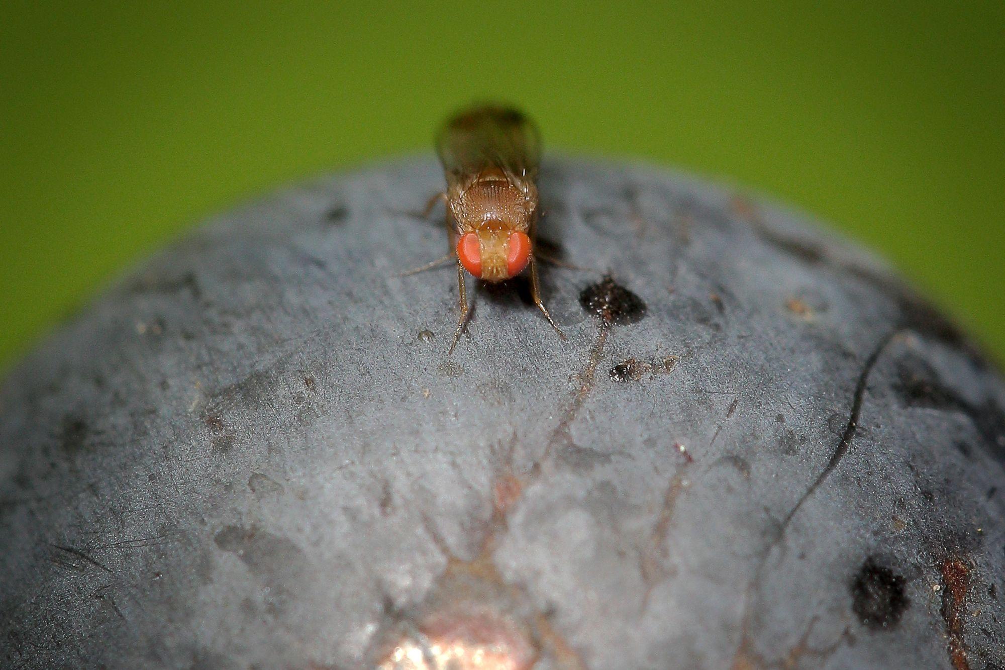 Le valais s 39 attaque la mouche suzukii en cr ant une cellule de lutte valais - Astuce pour se debarrasser des mouches ...