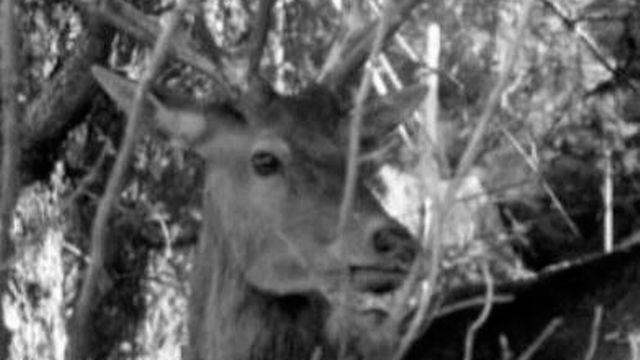 Cerf dans la forêt valaisanne. [RTS]