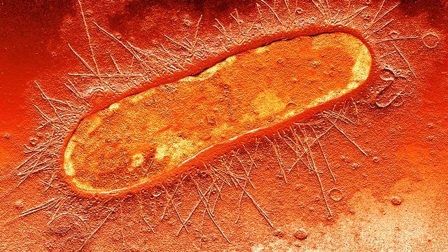 Bactérie d'Escherichia Coli, cause de nombreuses infections intestinales. [Sercomi/BSIP]