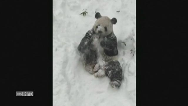 naissance rarissime de deux jumeaux pandas dans un zoo autrichien sciences tech. Black Bedroom Furniture Sets. Home Design Ideas