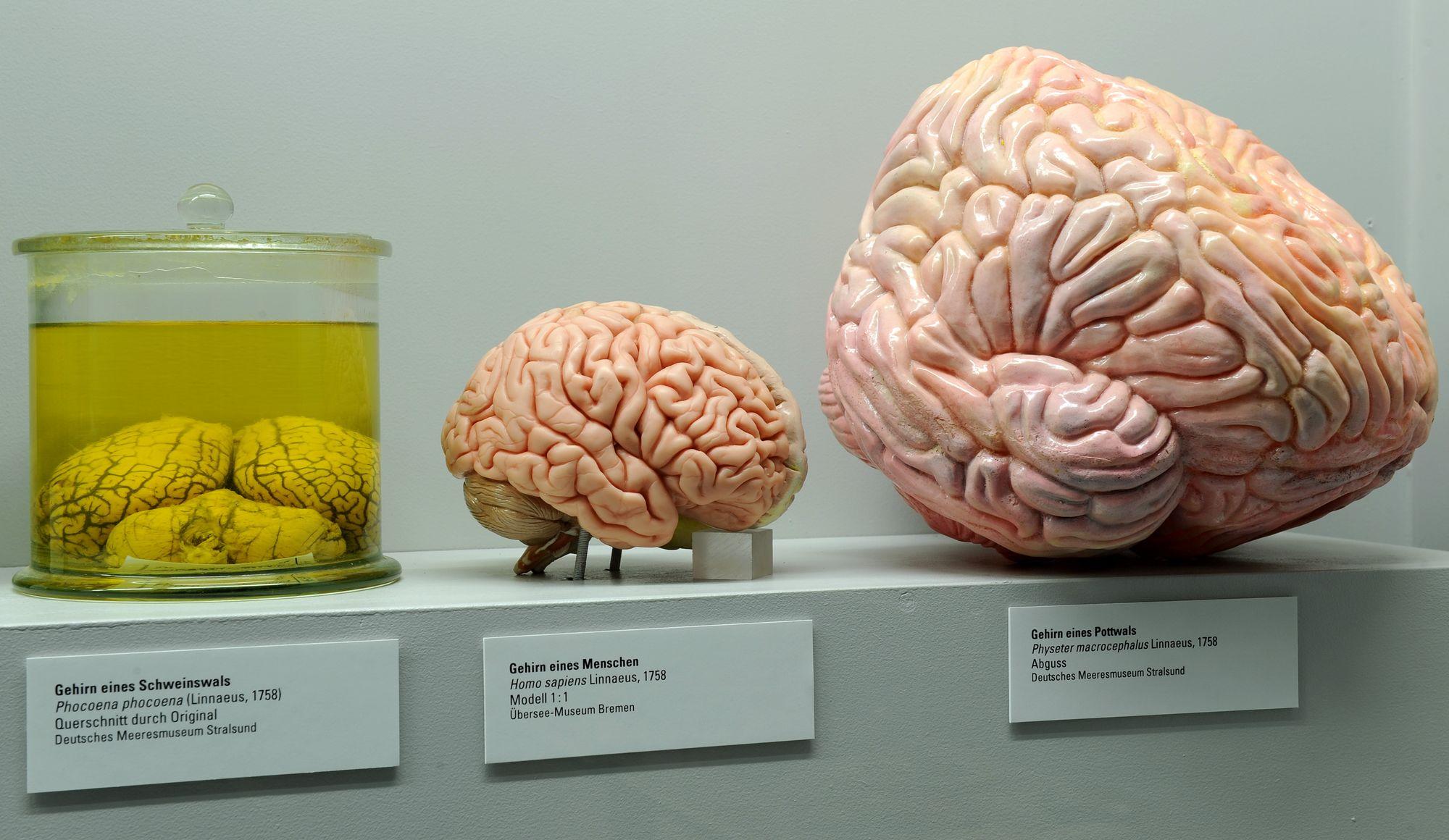 Gros cerveau rime avec extinction, selon un chercheur de