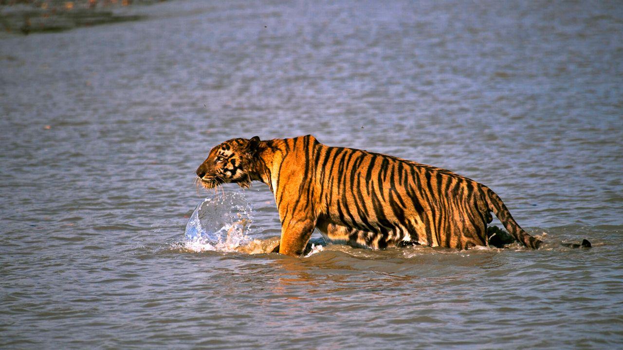 La population de tigres a dépassé la barre des 2000 animaux en Inde. [Joydip Kundu - AP Photo/Keystone]