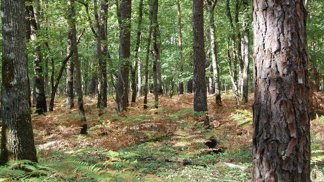 """Une parcelle """"mixte"""" de la forêt d'Orléans, peuplée de pins et de chênes. Irstea [Irstea]"""