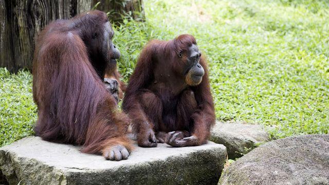 Certains comportements sociaux des orangs-outans rappellent ceux des humains. vladislav333222 Fotolia [vladislav333222 - Fotolia]