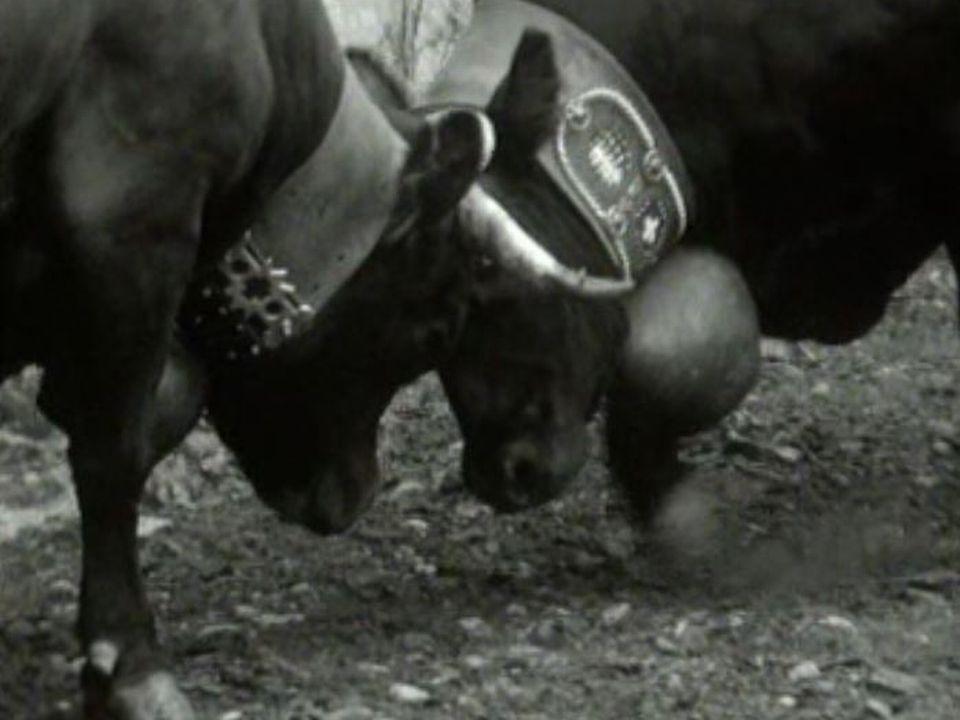 Combat de vaches d'Hérens en Valais en 1971. [RTS]