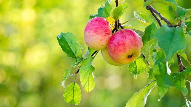 Le feu bactérien s'attaque aux pommes suisses. leekris Fotolia [leekris - Fotolia]