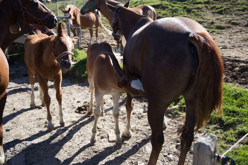 L'élevage de chevaux Franches-Montagnes de Maryline se porte bien. La relève semble assurée. [Sébastien Foggiato - RTS]
