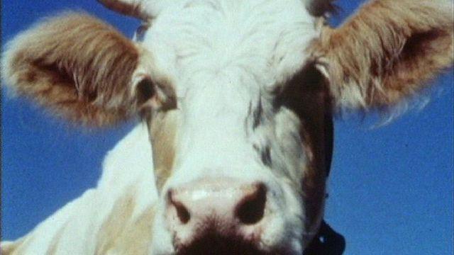 Une vache en 1986. [RTS]