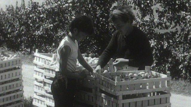 Femme triant abricots du Valais, 1961. [RTS]