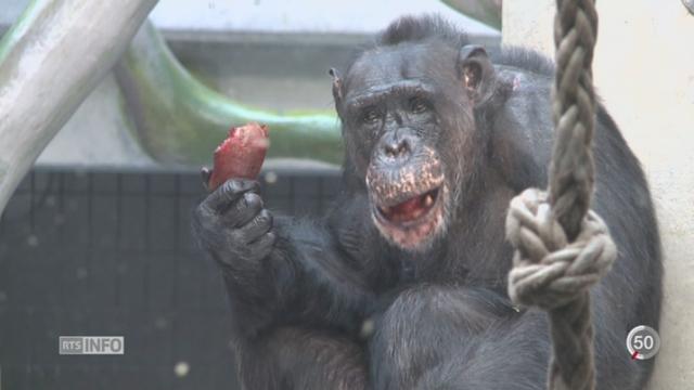 Antispécisme: une initiative bâloise souhaite inscrire dans la Constitution des droits pour les grands singes [RTS]
