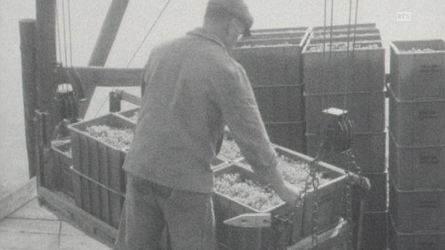 Vendanges modernes en Valais en 1963. [RTS]