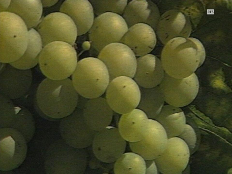 Le Conseil national propose des quotas viticoles en Suisse pour améliorer la qualité [RTS]