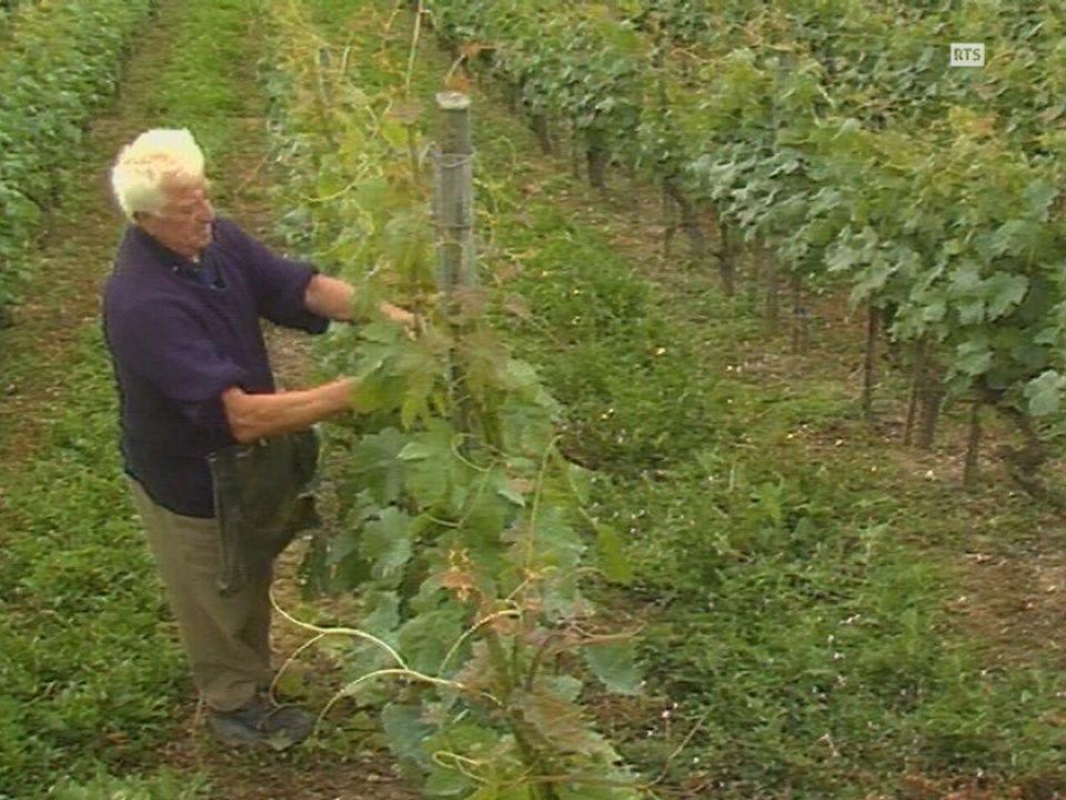 Les vignerons neuchâtelois limitent la production de la vigne à un kilo de raisin au mètre carré [RTS]