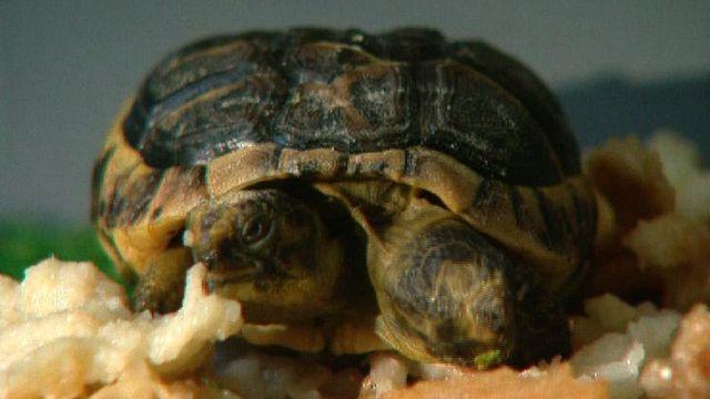 Janus, la tortue à deux têtes en 1998. [RTS]