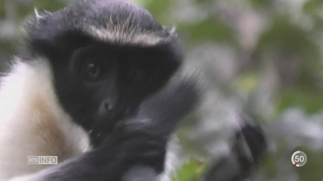Chaque race de primate à son propre système de communication [RTS]