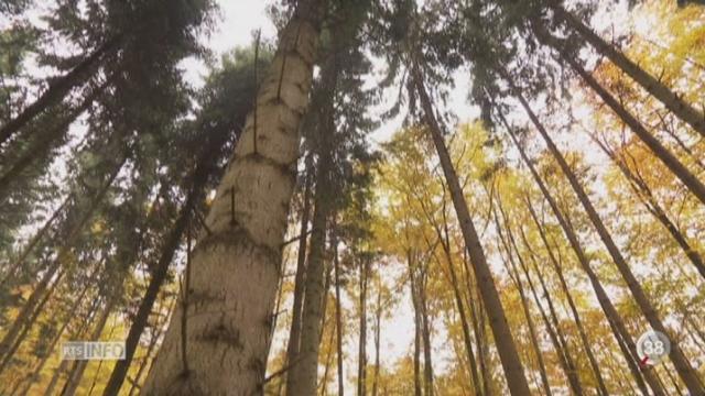 Avec le réchauffement climatique, le visage des forêts suisses va se transformer [RTS]