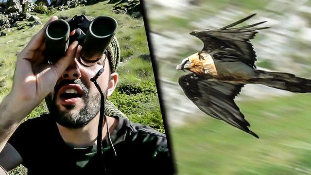 Gypaète, le vautour des Alpes