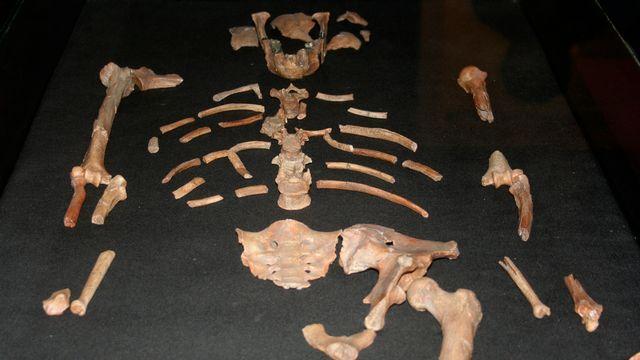 Réplique du squelette de Lucy. [Barry Malone - reuters]