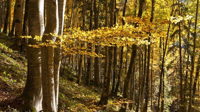 La forêt recouvre plus de 30% du territoire suisse. martin ruetschi [Martin Ruetschi - Keystone]