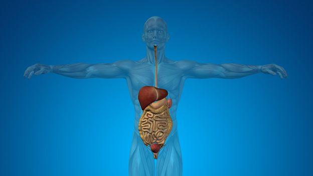 Découverte d'un nouvel organe du corps humain, le mésentère
