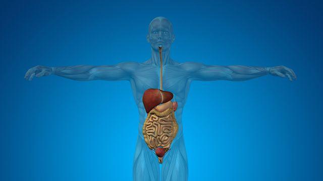 Le système digestif humain. high_resolution Fotolia [high_resolution - Fotolia]