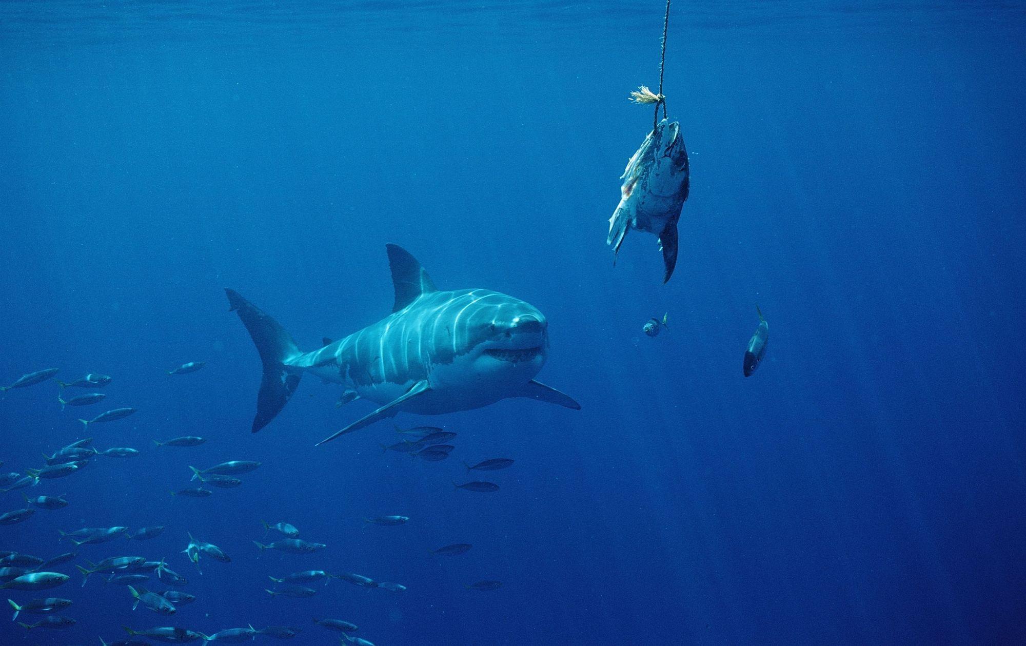La moiti des requins et raies de m diterran e menac s d 39 extinction sciences tech - Dessin de grand requin blanc ...