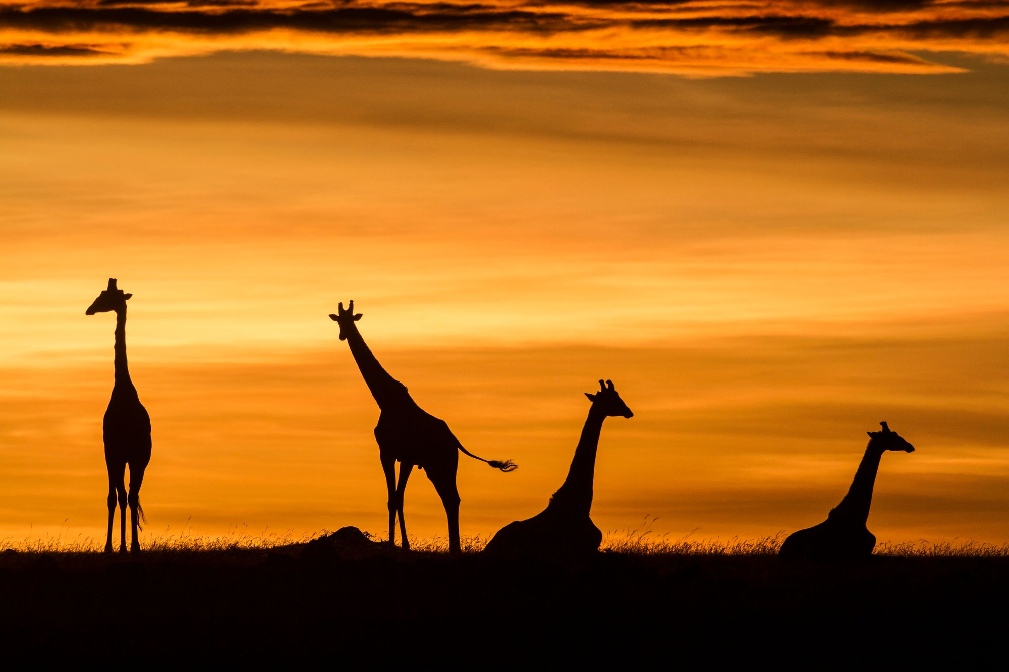 Des girafes au lever du jour dans la réserve nationale du Masai Mara au Kenya