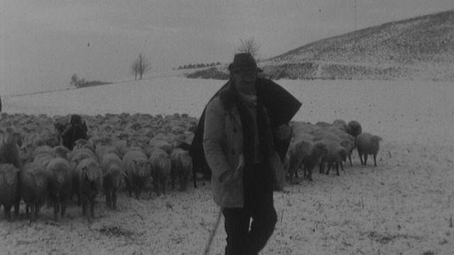 Bergers en transhumance dans la campagne vaudoise à la Sarraz en 1967. [RTS]