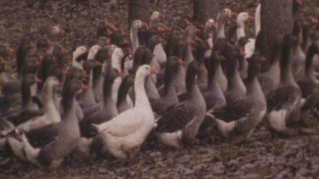 Elevage des oies et production de foie gras. [RTS]