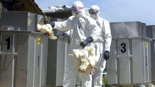 La Confédération pourra mieux coordonner les efforts de prévention des épidémies animales.  [Sandro Campardo - Keystone]