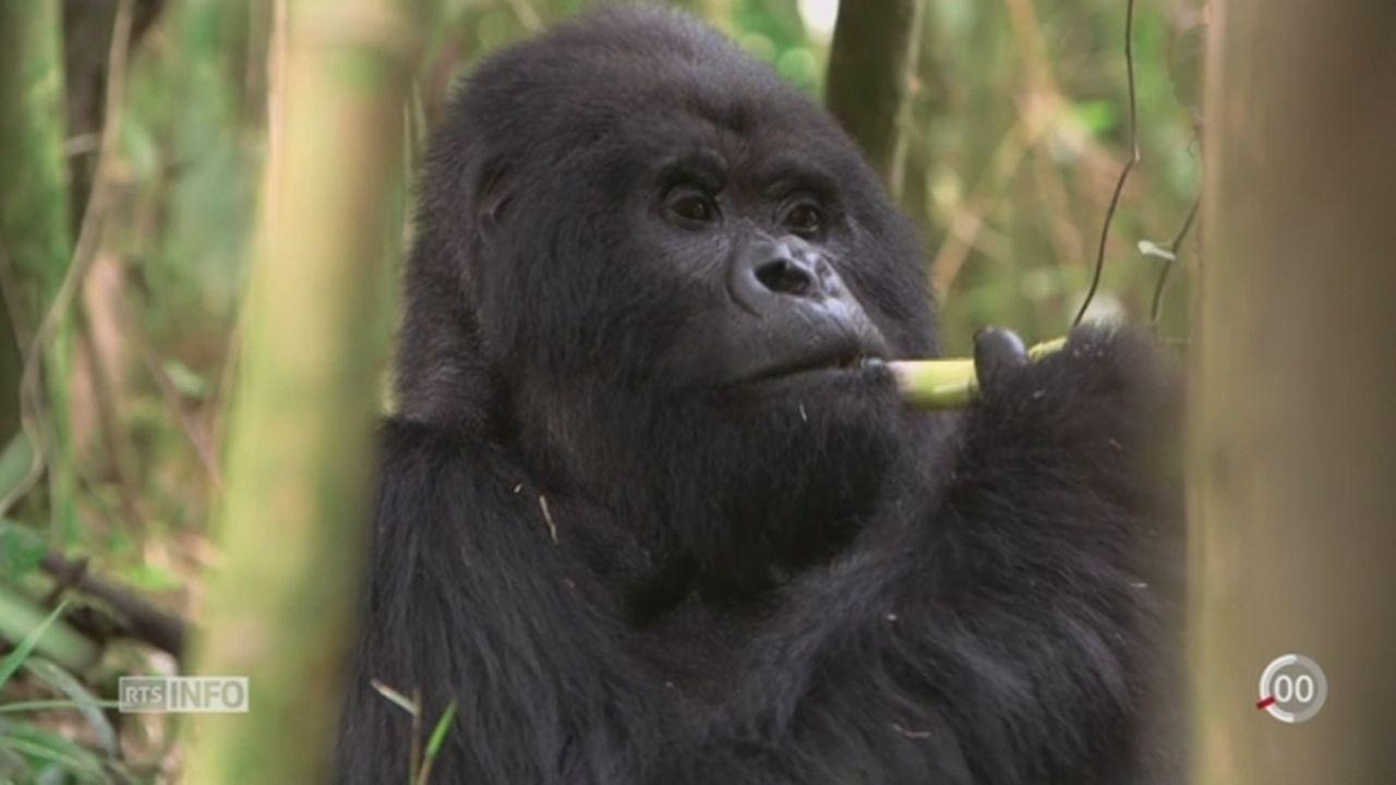 Environ 60% des primates sont menacés d'extinction [RTS]