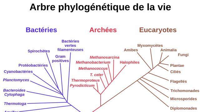 Luca est l'ancêtre commun des bactéries, des archées et des eucaryotes, les trois domaines du vivant. CC [CC]