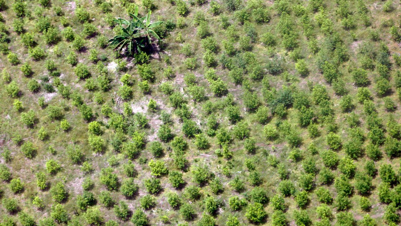 Vue aérienne d'une plantation de coca. [REUTERS/Fredy Builes]