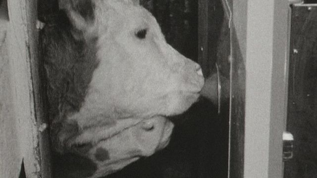 Machine avec tétine pour nourrir un élevage de veaux en 1966 [RTS]