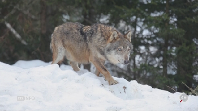 Italie: faut-il réintroduire la possibilité de tuer des loups? [RTS]