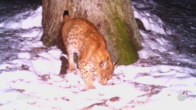 Davantage de lynx vivent entre l 39 oberland bernois et la suisse centrale environnement - Office federal de l environnement ...