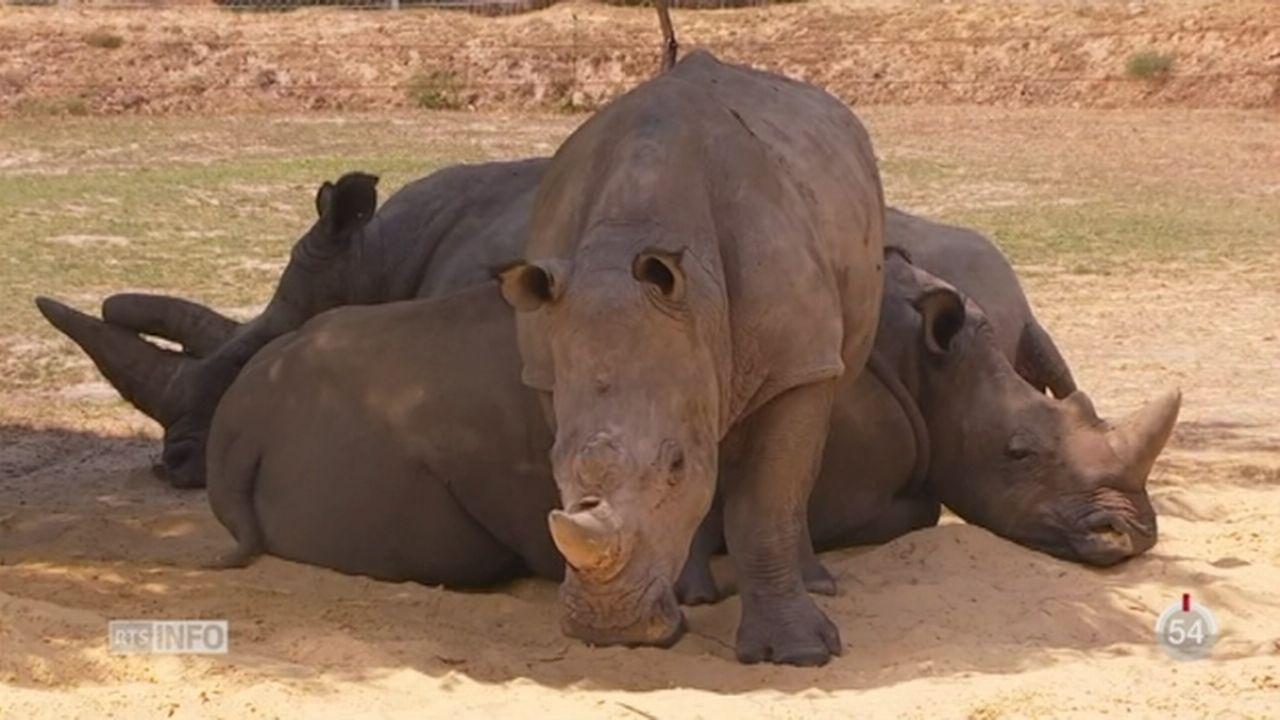 France: un rhinocéros blanc a été tué dans un zoo [RTS]