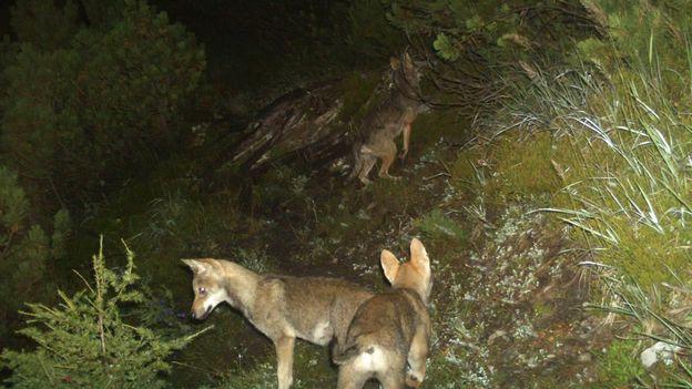 Près de 150 ans après sa disparition, le loup reconquiert petit à petit la Suisse