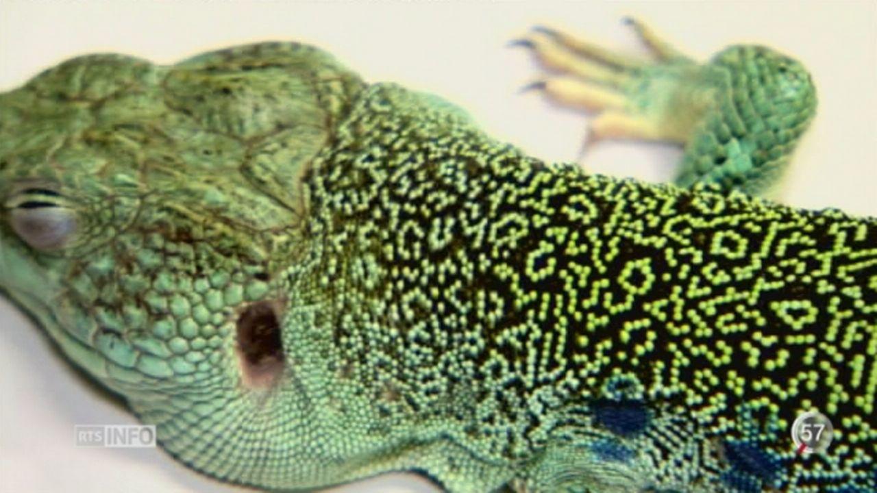 Des chercheurs genevois percent le secret des couleurs des lézards [RTS]