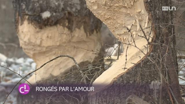 GR: des images d'un couple de castors redonnent espoir [RTS]