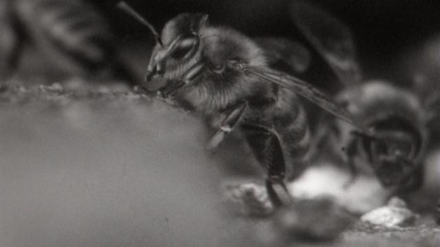 La vie d'une abeille. [RTS]