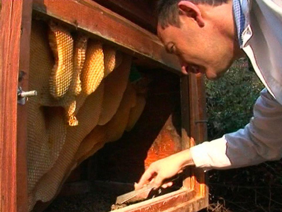 Les abeilles victimes du varroa. [RTS]